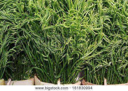 Close-up Fresh Cha-om,Acacia pennata, Acacia Pennata (L.) Willd.Subsp.InsuavisNielsen
