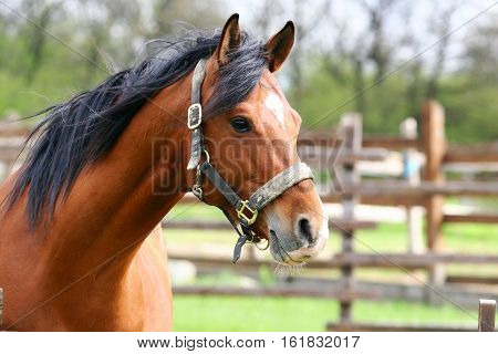Portrait of wonderful bay colored sportive horse
