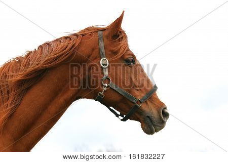 Side view head shot of a beautiful racehorse stallion against white background
