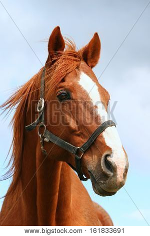 Portrait of a beautiful anglo-arabian stallion against blue sky summertime