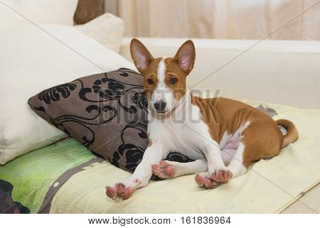 Little Basenji puppy stretching oneself after short siesta.