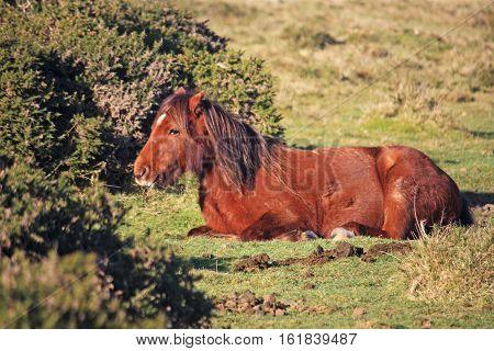 chestnut Dartmoor pony on a winters day