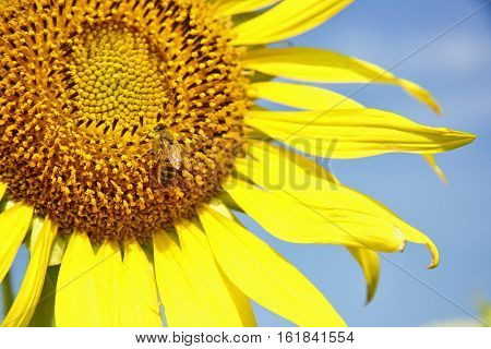 This picture ic the close up of bee on sunflower The part of Thailand