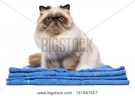 Cute groomed young persian seal colourpoint cat after bath is sitting on a blue towel - isolated on white background