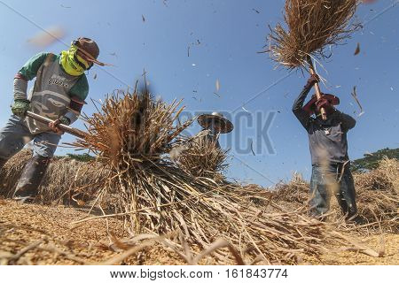 CHIANG RAI, THAILAND - December 14, 2016:  : unidentified Thai farmer threshing by beating rice to separate seed from the trunks on the ground.