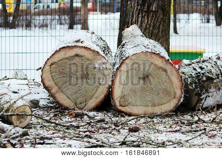 two stump of old poplar trees sawn off lie on snow near kindergarten