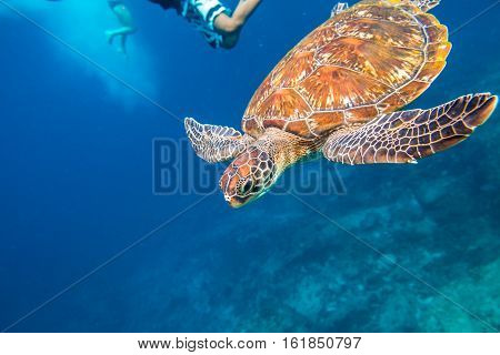 Green turtle, Chelonia mydas, swimming in blue water. On backgroung people snorkeling at Similan Islands in Thailand, Andaman Sea.