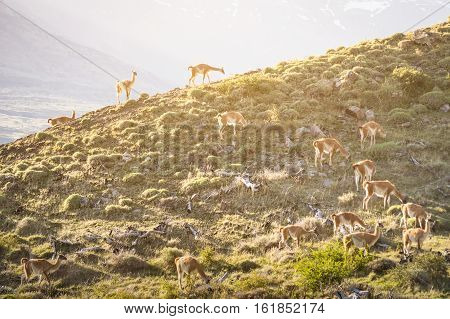 Vicunas herd grazing on mountain ridge at sunset near Torres del Paine in Patagonia chilena - Travel wanderlust concept with nature wonder in Chile south america - Warm saturated sunshine filter