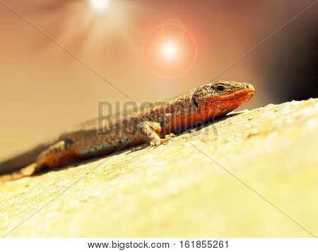 Lizard sunning itself on a hot stone.