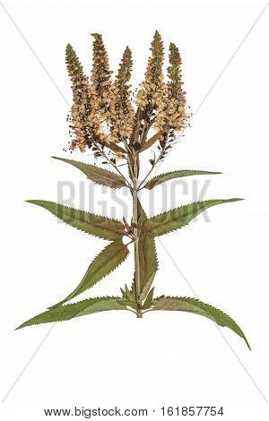 Pressed and dried flowers veronica spicata. Isolated on white background. For use in scrapbooking floristry (oshibana) or herbarium.
