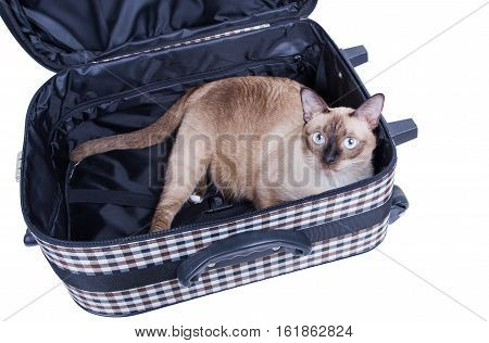 cat sitting in a suitcase isolate on white background