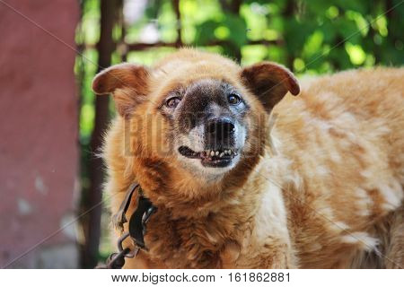 old chain red dog with a malignant inoperable tumor on the face in the area of the nasal cavity