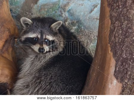 Picture of a racoon at a german deer park
