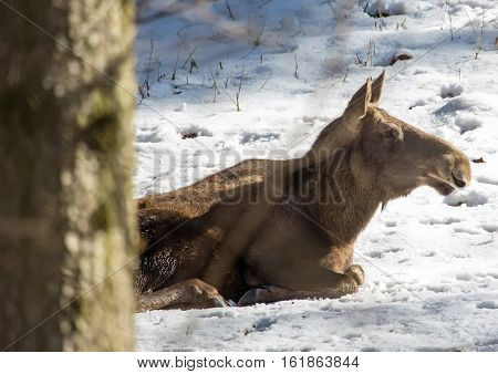An Elk (alces Alces) In Winter In A German Deer Park