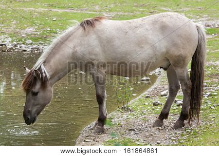 Heck horse (Equus ferus caballus), claimed to resemble the extinct tarpan (Equus ferus ferus).