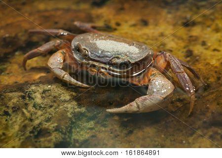 Blackback land crab (Gecarcinus lateralis), also known as the Bermuda land crab.