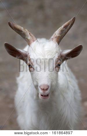 Girgentana goat (Capra aegagrus hircus).
