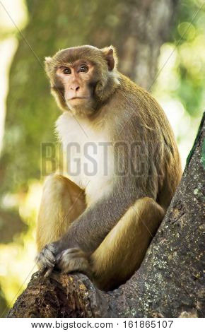 Rhesus Macaque on the tree in Nepal, Asia