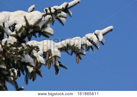 Fresh White snow on pine tree branches with ones and blue sky