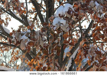 Maple Tree leaves showing some detail and color with fresh snow