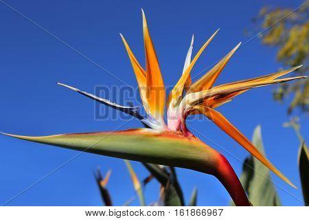 Closeup of Strelitzia Reginae flower (bird of paradise flower) against bright bly sky background