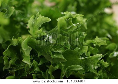 frisee lettuce close up leaves background, shallow focus