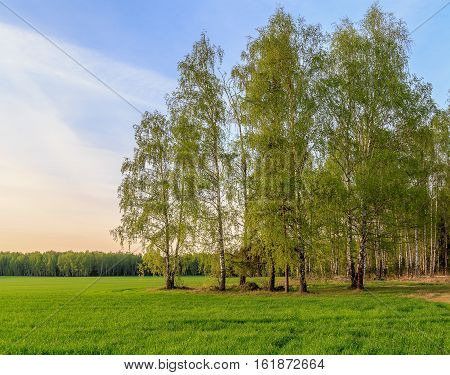 Spring Landscape, Birch On The Edge Of The Field