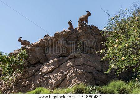 Goat at the edge of a mountain in Oman salalah dhofar region