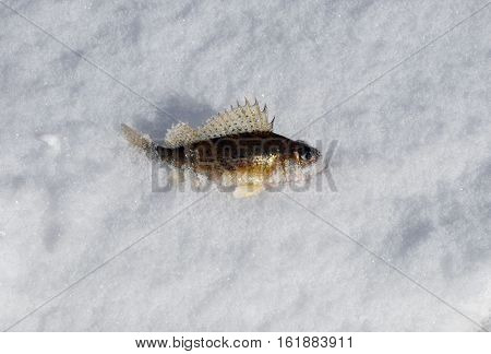 Fish ruff. Winter fishing on the ice. Russia