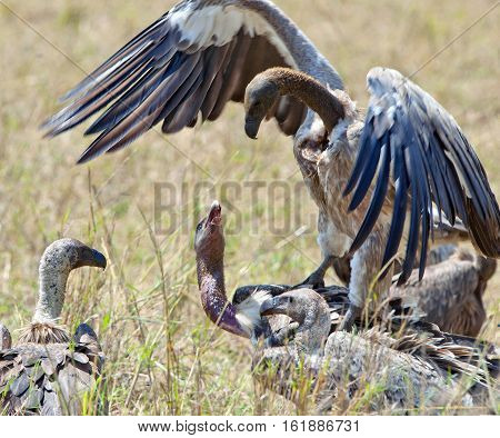 Fighting White-backed vultures (Gyps africanus). Tanzania. Africa