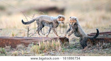 Cheetah cubs play with each other in the savannah. Cheetah (Acinonyx jubatus)