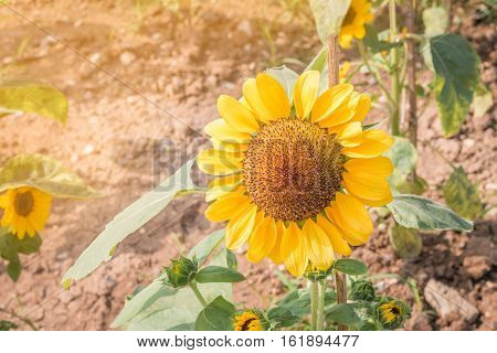 sunflower in garden with sun light from left side