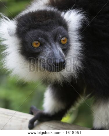Black & White Ruffed Lemur.