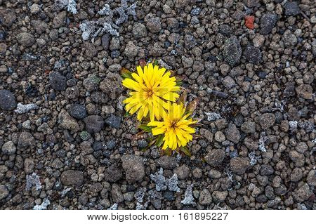 Solitary yellow flowers on field small stones