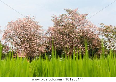 Tabebuia rosea Nakhon Pathom Province of Thailand