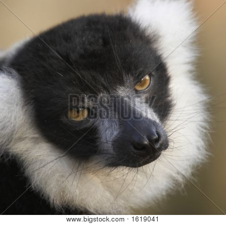 Black & White Lemur