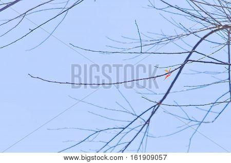 prunus puddumwild himalayan cherry tree or cherry blossum tree background