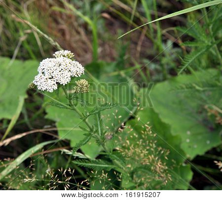 Medicinal plant Siberian Yarrow with latin name Achillea millefolium. Pink flowers closeup