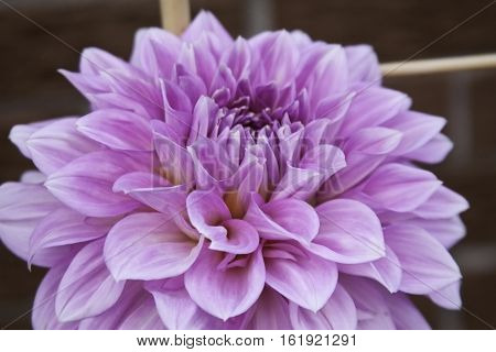 Close up of a vibrant pink and mauve Dahlia center and petals filling most of the frame shot in Montreal, Quebec, on a slightly overcast but bright day in late August.