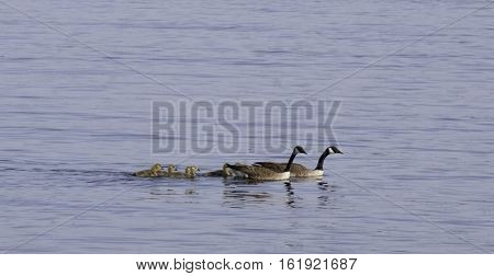 Family of Canada Geese with their goslings swimming in the St. Lawrence River near Cornwall, Ontario, on a sunny day in June with light clouds.