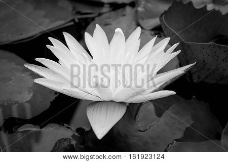 Close up of Black & white water lily