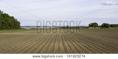 Wide long center viewpoint of straight rows of a plowed field with rows of sprouts. Trees mountains and the St. Lawrence River in the distance near Cornwall, Ontario, on a sunny day in June, with light clouds.