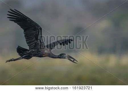 Open-billed Stork in flight with fresh water snail it just caught in river