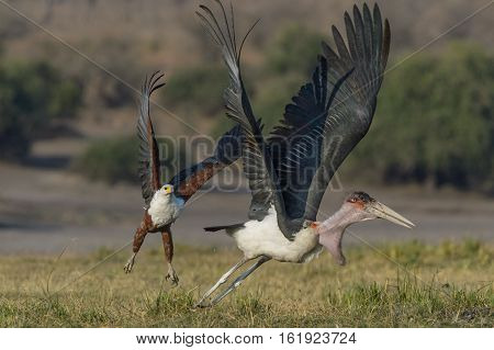 African Fish Eagle chasing Marabou Stork from its prey