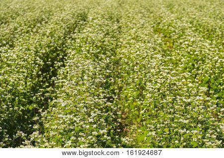 Close up Soba field in Japanese or Buckwheat field