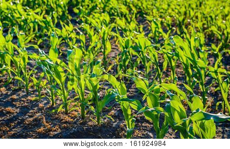 Closeup of fresh young green silage maize plants with translucent leaves in rows as seen in the low evening sun. It is in the beginning of the Dutch summer season.