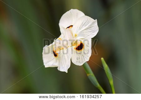Soft focus of African iris, Fortnight lily, also called Dietes bicolor with blurred green garden background