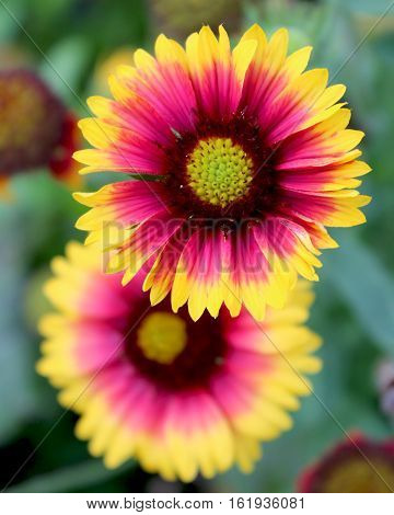 The bright yellow and red flowers of Gaillardia pulchella 'Picta' also known as Blanket Flower. It is a short lived perennial plant native to North and South America.