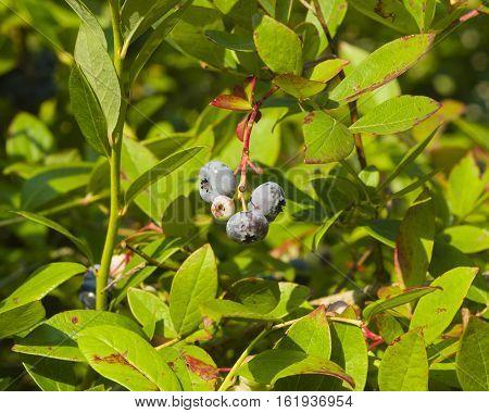 Tall huckleberry Vaccinium corymbosum riping berries close-up selective focus shallow DOF