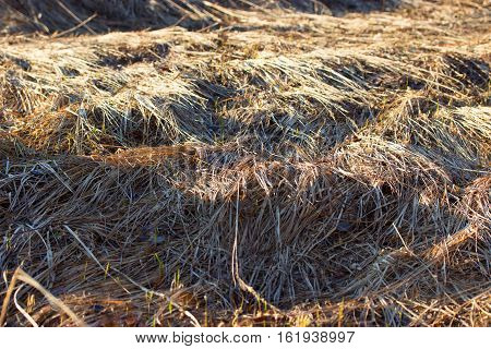 Dry Yellow Grass